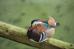 Colourful mandarin duck. Colourful duckling floating on a lake Stock Image
