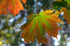 Colourful maple leaves Stock Images