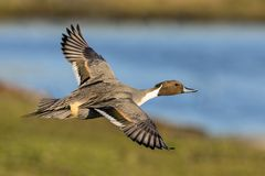 Northern Pintail Drake - Anas acuta, flying over a wetland. Royalty Free Stock Images