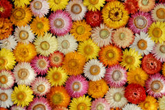 Colourful Mosaic of dried Straw Flowers ( Helichrysum bracteatum ). Compact carpet of variously coloured dried straw flower blooms, more or less opened stock photo