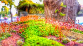 Colourful Moss. Vivid coloured moss on top of a rock Royalty Free Stock Photography