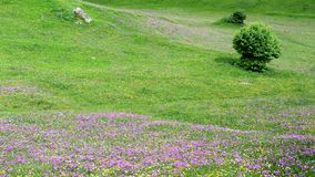 Colourful mountains of the Caucasus in Georgia. Purple meadows in the mountains of the Caucasus in the Swanetia area, Georgia Royalty Free Stock Photography