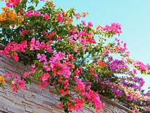 Colourful Newly Bloomed Bougainvillea Flowers, Growing over Stone Clad Wall. Colourful multi coloured freshly bloomed Bougainvillea flowers, with purple pink Royalty Free Stock Photography