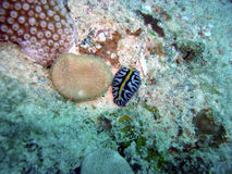 Colourful Nudibranch. Resting on the sea bed Stock Photography