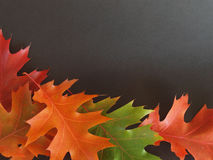 Colourful oak leaves, on black background Royalty Free Stock Photo