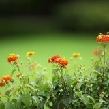 Colourful orange flowers Royalty Free Stock Photos
