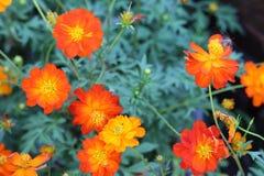 Colourful Orange marigolds Stock Photos