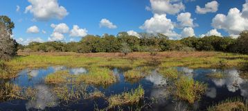 White clouds and blue sky reflections in Florida swamp. A colourful panoramic landscape of a Florida swamp with white clouds and blue sky reflections in the royalty free stock images