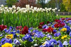 Colourful pansies i biały tulipanu flowerbed tło w wiośnie uprawiają ogródek z bliska obrazy royalty free