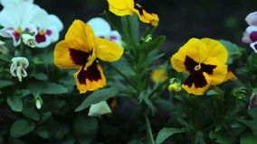 Colourful pansies stock video footage