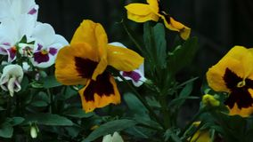Colourful pansies stock video