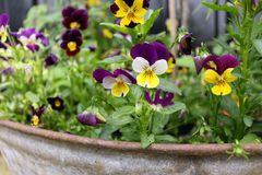 Colourful Pansies. In a Pot outside stock image