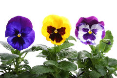 Colourful pansy Stock Photo