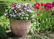 Colourful pansy flowers in the ceramic pot. Stock Photos