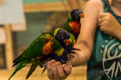 Colourful papugi na ręce bierze jedzenie zdjęcia royalty free