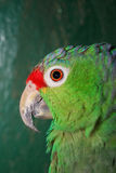 Colourful parrot. Sitting in cage stock image