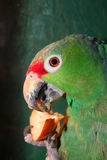 Colourful parrot. Eating in cage stock photography