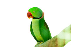 Colourful parrot bird  on the perch. Colourful parrot bird sitting on the perch Royalty Free Stock Photo