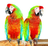 Colourful parrot bird  on the perch Stock Image