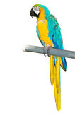 Colourful parrot bird  on the perch. Colourful parrot bird sitting on the perch Royalty Free Stock Photos