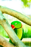 Colourful parrot bird  on the perch. Colourful parrot bird sitting on the perch Royalty Free Stock Images