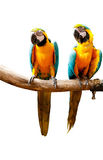 Colourful parrot bird  on the perch. Colourful parrot bird sitting on the perch Stock Photos