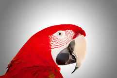Colourful parrot bird sitting. On the perch Royalty Free Stock Photography
