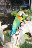 Colourful parrot bird sitting. On the perch Royalty Free Stock Image