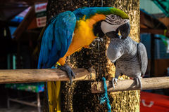 Colourful parrot bird sitting on the perch Royalty Free Stock Image