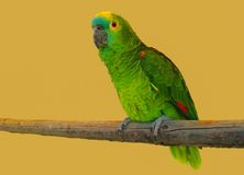Colourful parrot Royalty Free Stock Photos