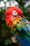 Colourful parrot macaw Royalty Free Stock Photography