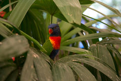 Colourful Parrot. A colourful parrot peers our from under the leaves of a palm tree Royalty Free Stock Image