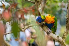 Colourful Parrot Rainbow Lorikeet in zoo. Colourful parrot Rainbow called Lorikeet, sitting on the branch of a tree in a zoo Royalty Free Stock Images