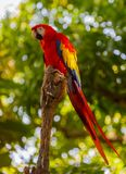 Colourful Parrot resting on a tree branch. A colourful tropical parrot rests on a tree branch and watches life go by Royalty Free Stock Photos