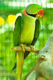 Colourful parrot  sitting on the perch. Colourful parrot bird sitting on the perch Stock Photos