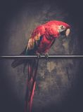 Colourful parrot. Sitting on a perch Stock Photo