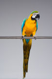 Colourful parrot sitting on a perch Royalty Free Stock Photography