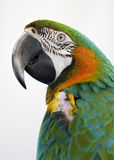 Colourful parrot with white background Stock Photo