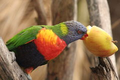 Colourful parroton a branch Stock Image