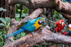 Colourful parrots bird Royalty Free Stock Images