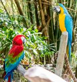 Colourful Parrots staring at each other royalty free stock photography