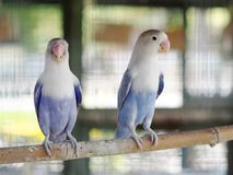 Colourful pastel tone color lovebirds little cute young parrots. With short tail making happy noisy high tone beaks in a large cage in pet shop for sale royalty free stock photos