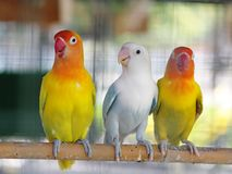 Colourful pastel tone color lovebirds little cute young parrots stock photography