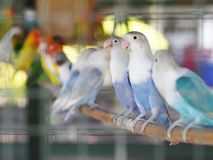 Colourful pastel tone color lovebirds little cute young parrots royalty free stock images