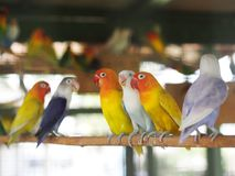 Colourful pastel tone color lovebirds little cute young parrots royalty free stock photos