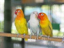 Colourful pastel tone color lovebirds little cute young parrots. With short tail making happy noisy high tone beaks in a large cage in pet shop for sale royalty free stock image