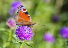 Colourful Peacock butterfly on Centaurea Scabiosa Knapweed flowe Royalty Free Stock Images