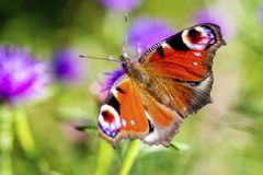 Colourful Peacock butterfly on Centaurea Scabiosa Knapweed flowe Royalty Free Stock Photo