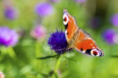 Colourful Peacock butterfly on Centaurea Scabiosa Knapweed flowe Royalty Free Stock Image
