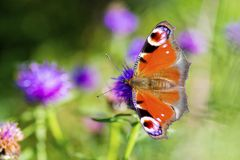 Colourful Peacock butterfly on Centaurea Scabiosa Knapweed flowe Stock Photo